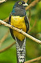 Trogon Violaceous. See more Costa Rica Exotic Birds pictures.