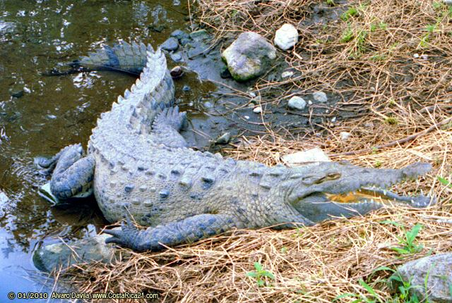 Crocodiles & Caimans of Costa Rica
