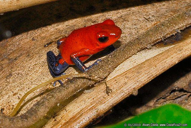 Tropical Rainforest Frog of Costa Rica