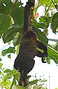 Howler Monkey. See nice pictures in gallery.