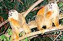 Squirrel Monkey. See nice pictures in gallery.