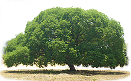 A young Guanacaste tree